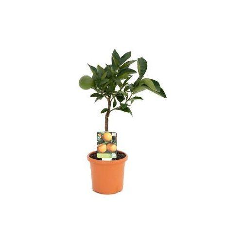 Pozostałe rośliny i hodowla, Pomarańcza słodka małe drzewko