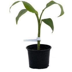 Bananowiec Musa Yunnanensis sadzonka
