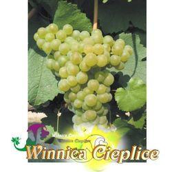 Sadzonka winorośli Pinot Gris winnica kpl rabat 10%
