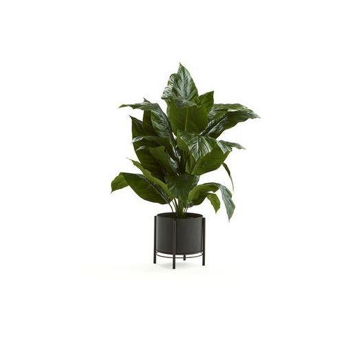 Sadzonki, Skrzydłokwiat, 1050 mm, czarna stalowa donica