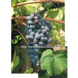Sadzonka winorośli Pinot Noir rabat 8%