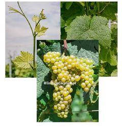 Sadzonka winorośli Kersus® rabat 8%