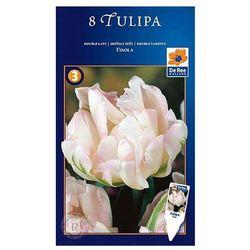 Tulipan Wczesny Finola