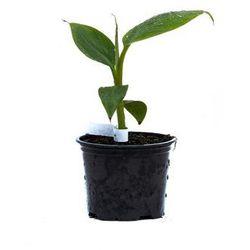 Bananowiec Musa Helens Hybrid sadzonka